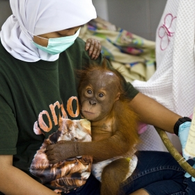 Displaced by Palmoil: Indonesia`s last Orangutans