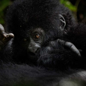 Virunga's Mountain Gorillas